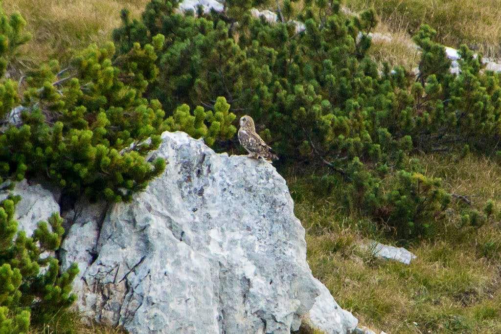 Faraway Owl