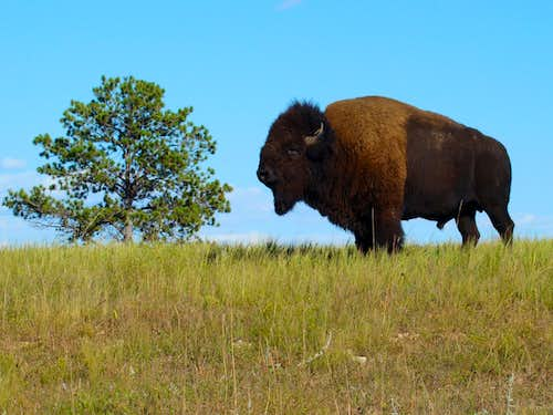 Solitary Buffalo at Wind Cave National Park