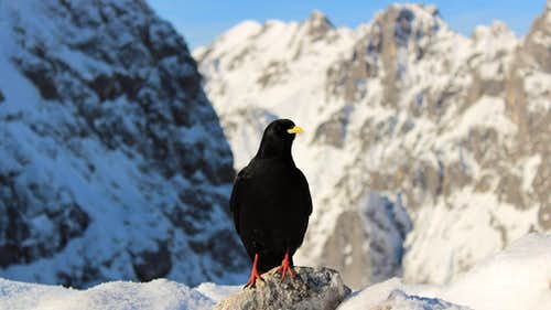 Alpine Chough on Alpspitze