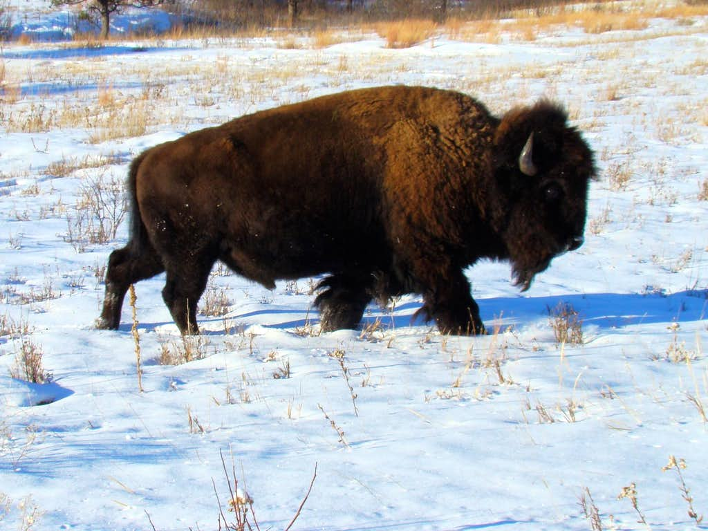 Wary Bison