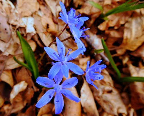 Scilla Bifolia blooming in the wood on the trail to Monte Caplone