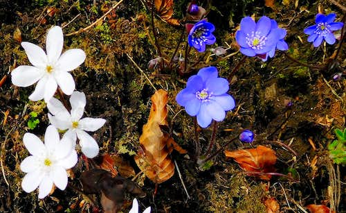 White and violet specimens of Anemone Hepatica on the trail to Caplone