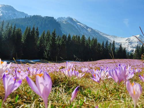 Crocuses with Kasprowy