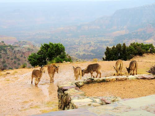Goats at the edge of Palo Duro Canyon