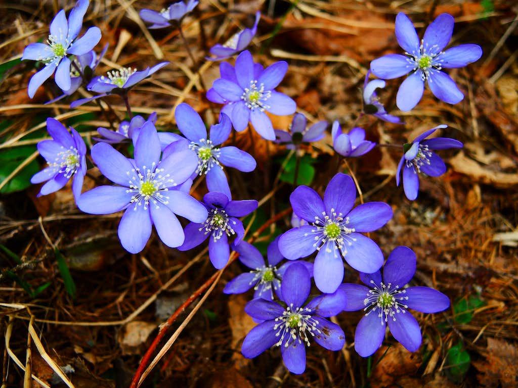 Blue Common Hepatica