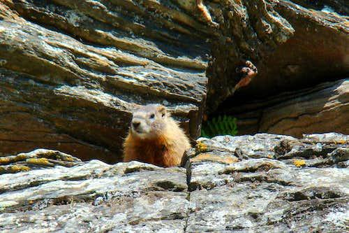 Inquisitive Marmot