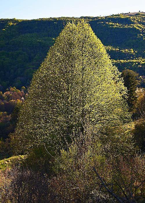 The tree near Dane, Istria