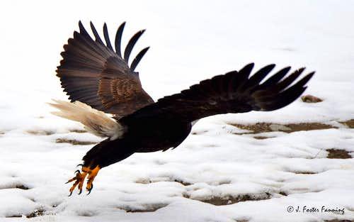 Eagle Launching into Flight